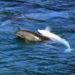 Právě teď: vraždění delfínů v Japonsku