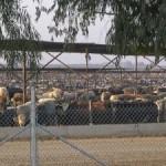 """Nová studie o ekologických dopadech chovu """"hospodářských"""" zvířat"""