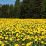 Žlutá radost: pět způsobů, jak jíst pampelišky
